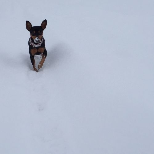 Snow Minipin Miniature Pinscher It's Cold Outside Winter Dog Dogs Dog Walking