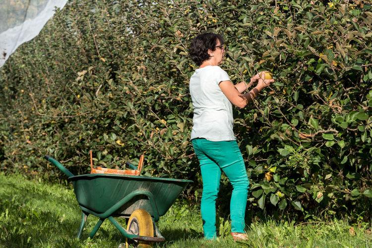 Woman picking fruit at farm