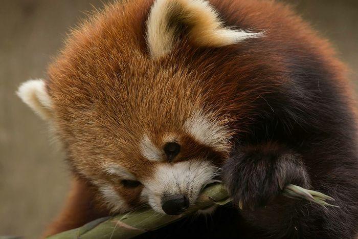 Panda Roux Animaux Animals Photos Around You Bordeaux Gironde France Zoo