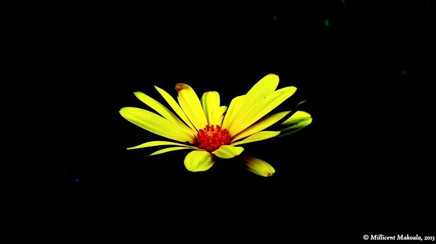 Daisy Flower Yellow Flower Head Black Background Freshness Beauty In Nature Petal Fragility Close-up Nature Outdoors Day