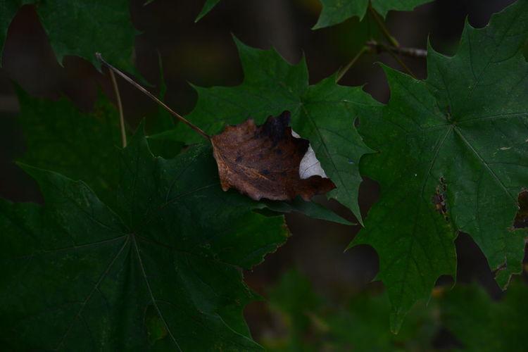 Close-up of maple leaf on leaves