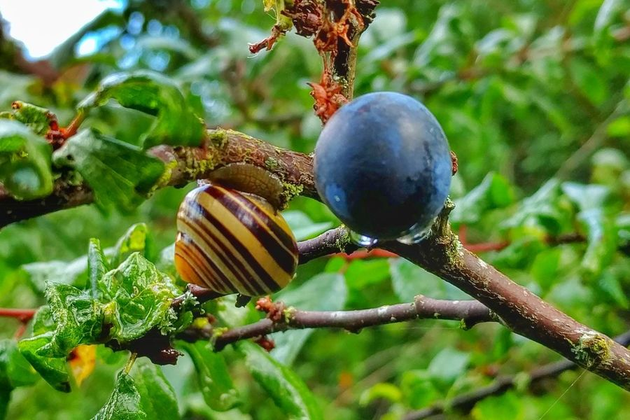 Nature Close-up Focus On Foreground Green Color No People Plant Growth Day Outdoors Tree Beauty In Nature Branch Freshness Snail Blueberry
