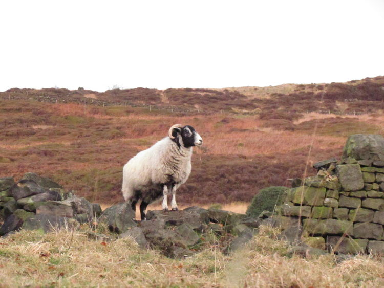 Sheep Sheeps EyeEm Selects One Animal Animal Llama Domestic Animals Animal Themes Outdoors Nature Mammal Dog Standing Day Arid Climate No People Landscape Agriculture Rural Scene Mountain Pets Beauty In Nature Desert