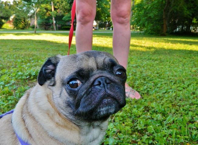 Pug close up 1 Canine Close Up Close-up Dog Domestic Animals Expressive Face Grass Grassy Lawn Leg Looking Outdoors Owner Pet Collar Pet Owner Pets Photo Of Picture Of Portrait Pug Relaxation Shade Small Tan