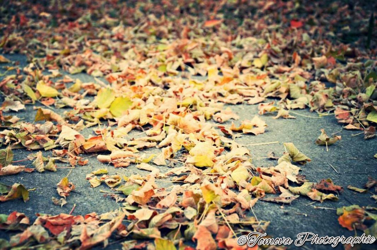 leaf, autumn, change, dry, nature, falling, leaves, selective focus, maple, no people, outdoors, abundance, close-up, fallen, maple leaf, fragility, backgrounds, beauty in nature, day, fallen leaf, fall, tranquility, many