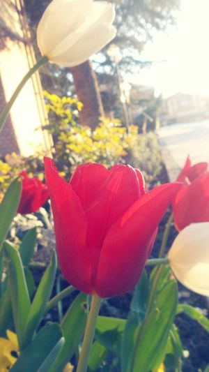 Laleler Tulips Flowers Red White Anadoluuniversitesi Spring Spring Flowers Eskişehir