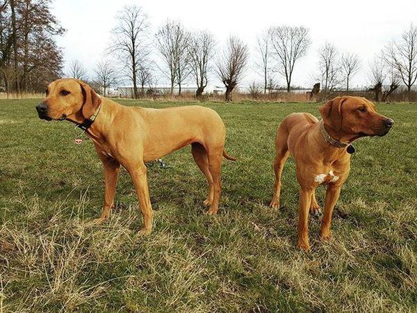 Meine beiden Powermädels haben alles im Blick 😊 Ridgeback Rhodesian Instadogs Liondog Löwenhund Rhodesianridgeback Joy Ohana Picoftheday Projectrr Rr Hund Dog Prinzessin Power Blick