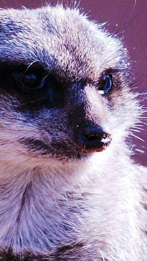 Meerkat One