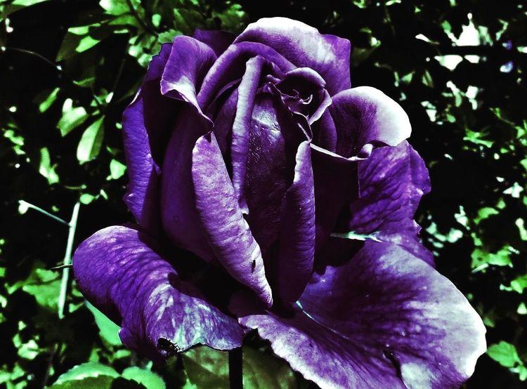 Blue. Rose🌹 In My Garden Denmark Tadaa Community EyeEm
