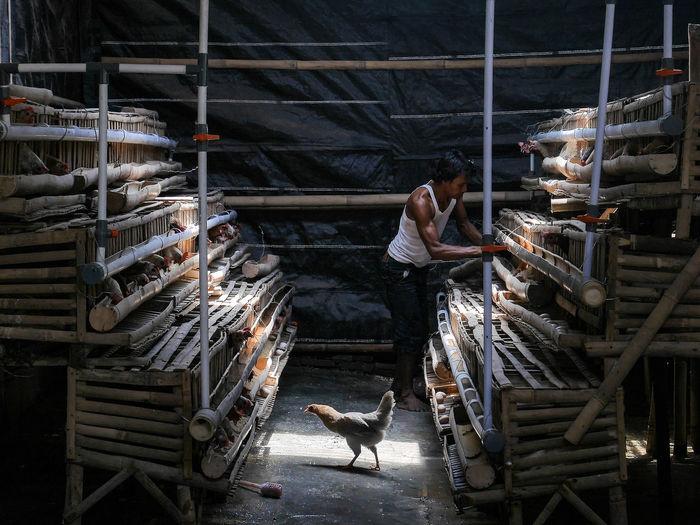 Man working at chicken coop