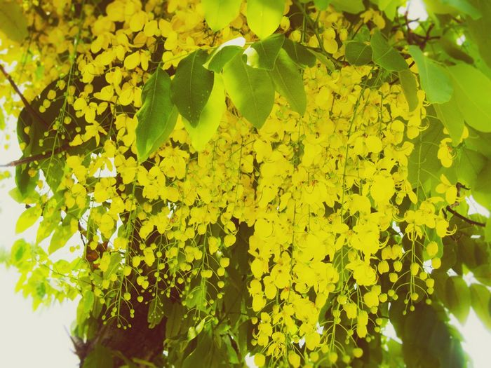 ดอกคูณ Growth Nature Yellow Beauty In Nature Leaf No People Plant Outdoors Green Color Close-up Flower Tree Fragility Day Freshness Branch Flower Head ราชพฤกษ์