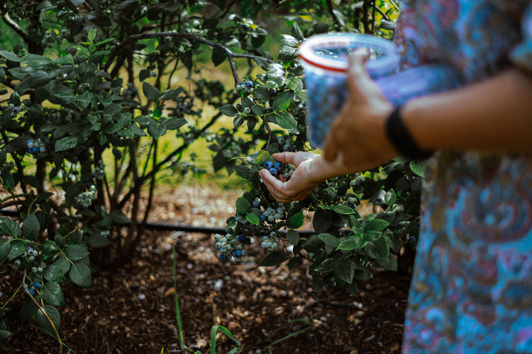 Hand of woman picking blueberries from tree