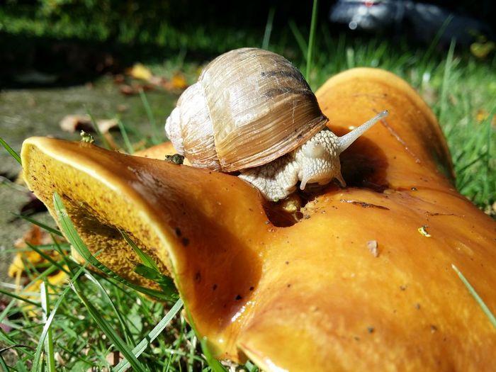 Schnecke Snail Animal Themes Animals In The Wild Fragility Marone One Animal Pilze Roman Snail Roman Snail On Mashroom Weinbergscghnecke Wildlife