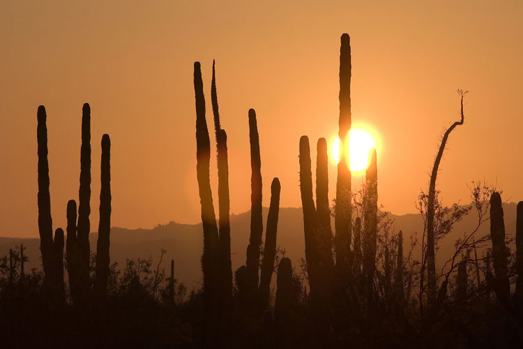 Cactus silhouettes in Baja California, Mexico Beauty In Nature Cactus Desert, Growth Land Landscape Natrual Beauty  Nature No People Non-urban Scene Orange Color Outdoors Plant Scenics - Nature Silhouette Sky Succulent Plant Sun Sunlight Sunset Tranquil Scene Tranquility