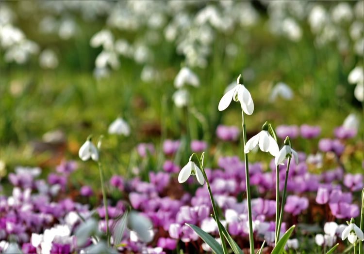 Spring Flowers Springtime Snowdrop Cyclamen Forest Green Nature Beauty In Nature Freshness Winter End Starting A Trip New Start
