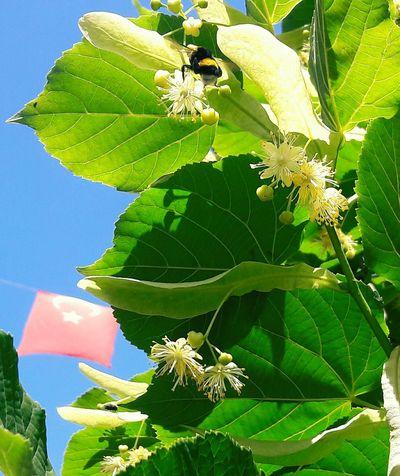 Vintage2 ıhlamur Agaci Yapraklar Ari Arı Cicekler Sinek Bayrak Turkbayragim Bee Polen Flag Fly Tilia Linden Leafs Güneşli Türk Bayrağı Bombus