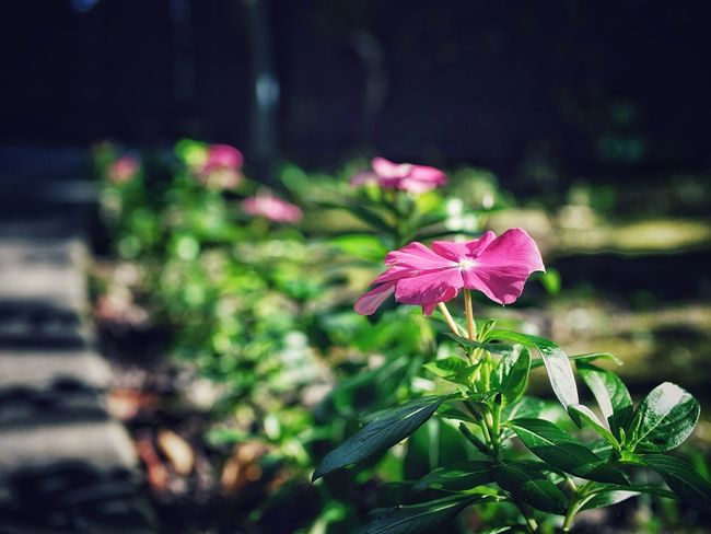 Morning Light Flower Bokeh Photography Nice Weather Walking Around Unzen City Nagasaki prefecture Kyushu region Japan / lumix L10K 50mm