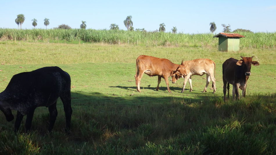 Animal Themes Beauty In Nature Brown Cow Day Domestic Animals Domestic Cattle Field Grass Grassy Grazing Green Color Growth Herbivorous Landscape Livestock Mammal Nature No People Outdoors Pasture Rural Scene Sky Tranquil Scene Tranquility