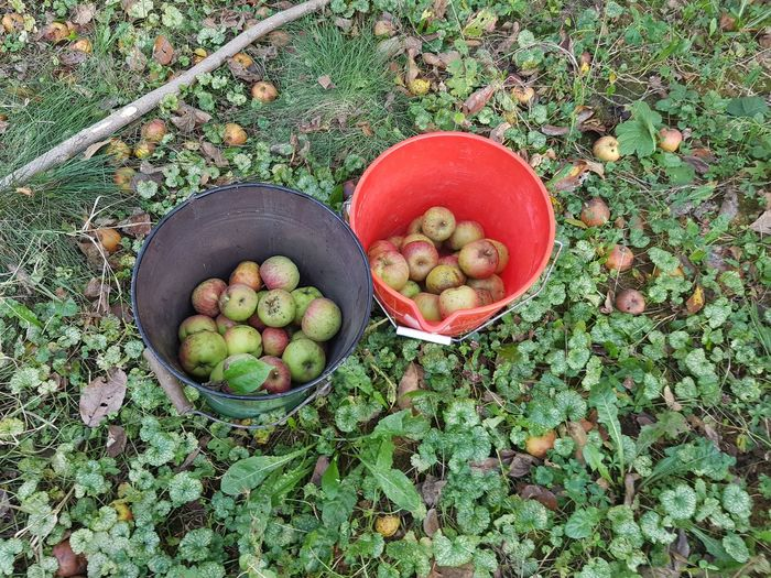 High angle view of apples in buckets on field