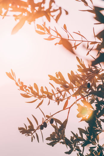 Sunny Mediterranean background with olive tree at sunset Nature Olive Olive Tree Olive Oil Sky No People Close-up Sunlight Clear Sky Beauty In Nature Branch Plant Medditeranean Mediterranean Sea Mediterranean Food Sunlight Plant Part Decoration Leaves Sunset Garden Olive Grove