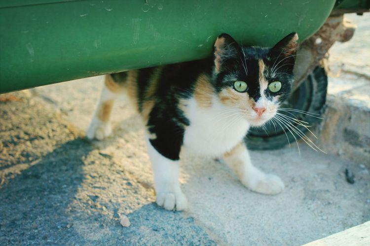 Animals Cyprus Cat