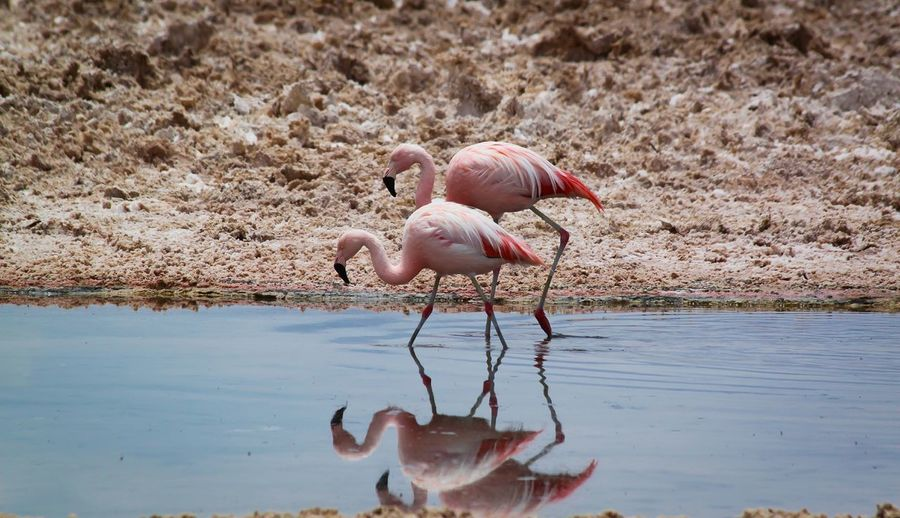 Flamingoes wading in water