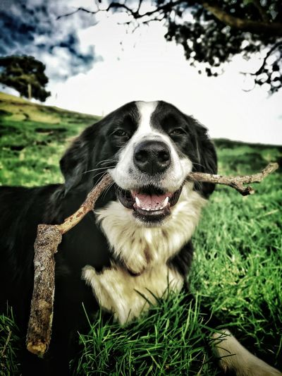 Portrait of dog carrying stick in mouth