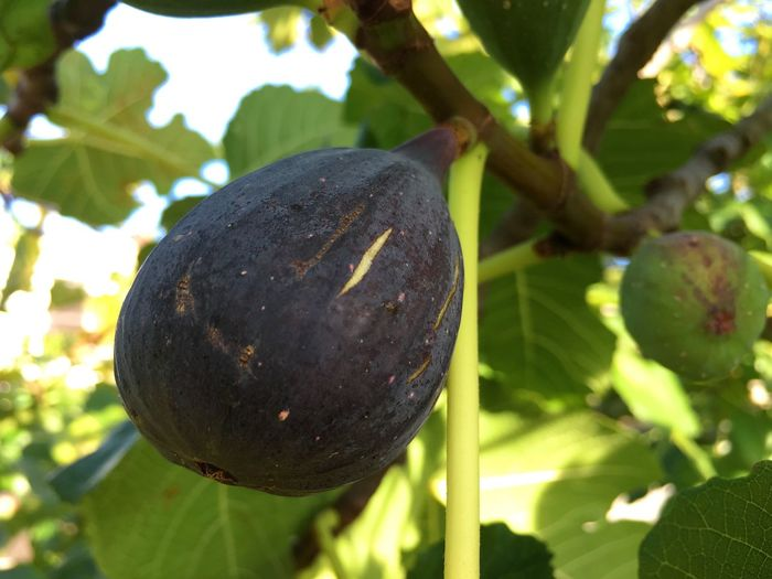 Fresh, sun-ripened fig on the tree. Fruit Growth Leaf Day Food And Drink Nature Close-up No People Food Green Color Outdoors Sunlight Tree Plant Freshness Beauty In Nature Fig Fig Fruit Fig Tree Fresh Fruits Sun Ripened Organic Healthy Eating
