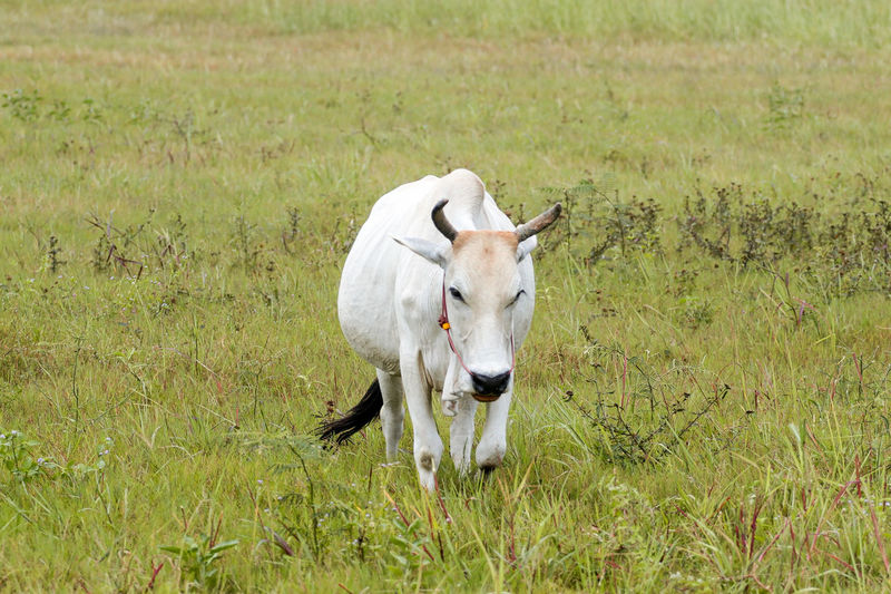 White cow...🐂🐂🐂🐂 Oil Pump Agriculture Field Meadow Farm Grass Close-up Livestock Cattle Cow Calf Farm Animal Bull - Animal Domesticated Animal Tag Domestic Cattle Moose Herbivorous Dairy Farm Grazing