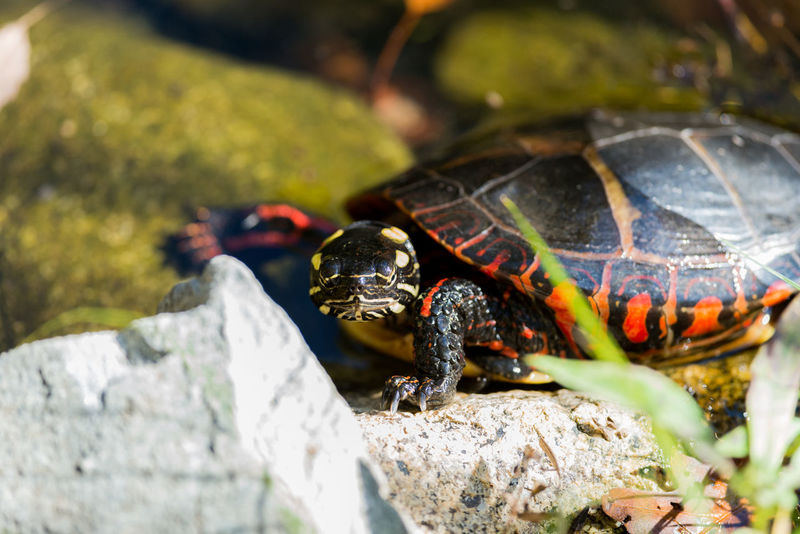 Turtle Stare Down. Animal Animal Wildlife Animals In The Wild Close-up Nature No People One Animal Outdoors Painted Turtle Tortoise Tortoise Shell Turtle Turtle 🐢 Wildlife Wildlife & Nature Wildlife Photography Wildlife Photos Wildlifephotographer Animal Themes Reptile Reptile Photography