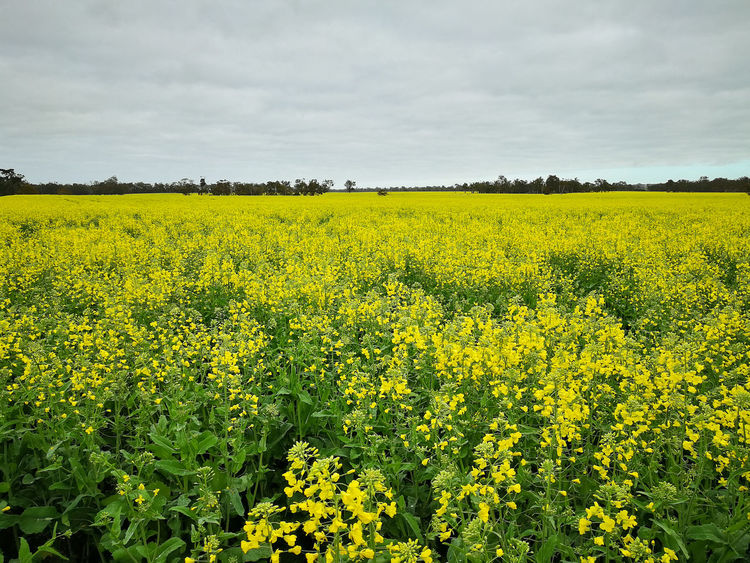 Blooming canola field in Western Australia. Focus Agricultural Field In Bloom Blossom Cultivated Land Botany Plant Life Cloud - Sky Rapeseed Blossom Rapeseed Rapeseed Field Yellow Fields Yellow Greenery Tourist Destination Tourist Attraction  Tourism Farmfield Farm Canola Flowers Canola Field Canola Field Traveling Travel Travel Destinations Australia & Travel Australia Western Australia Beauty In Nature Flower Scenics - Nature Land Agriculture Plant Growth Landscape Rural Scene Flowering Plant Tranquil Scene Tranquility Oilseed Rape Sky Environment Nature No People Springtime