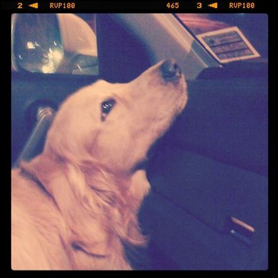 เม่ือยคอ Goldenretriever Hoykong Dog