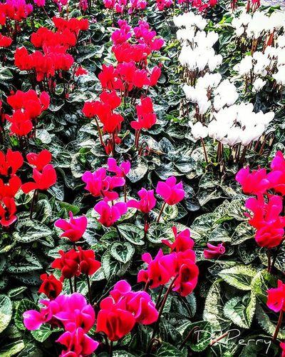 """Cyclamen"" Rome Roma Fiori Lazio Ig_italy Ig_lazio Repostromanticitaly Photobydperry Fb WP Flower Photooftheday Discoverglobe Incredible_italy Noidiroma Italia Italy"
