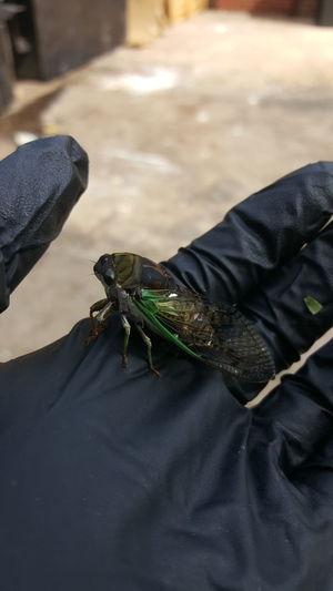 Cropped image of hand holding cicada