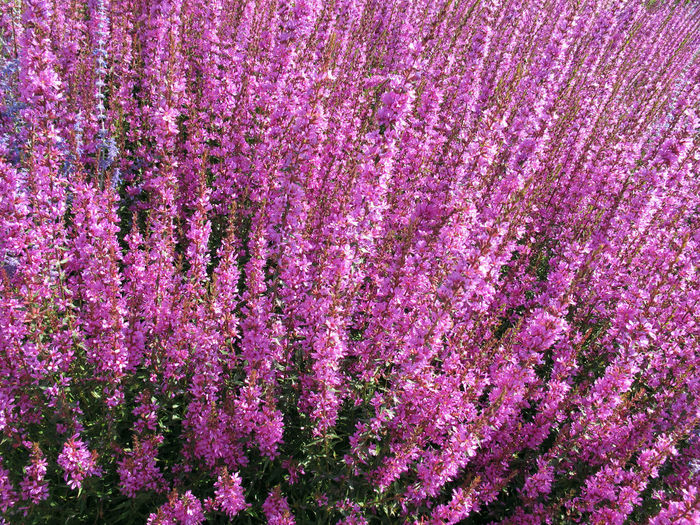 purple loosestrife (Lythrum salicaria) plant blossom Backgrounds Blutweiderich Close-up Flower Flower Head Freshness Full Frame Loosestrife Lythrum Salicaria Nature Plant Purple