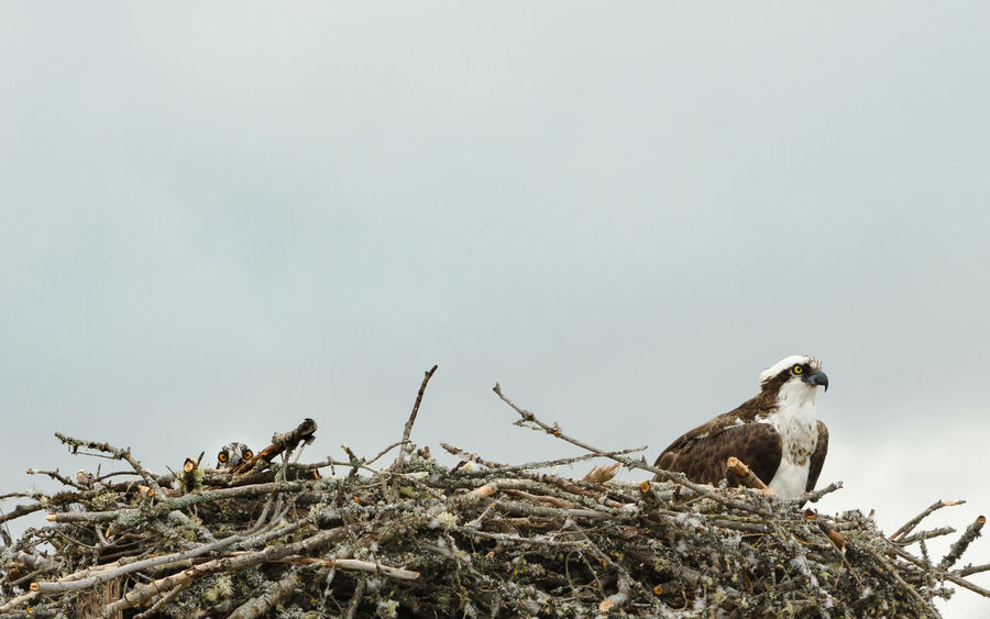 Animal Animal Wildlife Animals In The Wild Bird Couple Couple - Relationship Day Family Full Length Nature Nest No People Osprey  Ospreys Outdoors Presentation Room For Text Togetherness White Background Wildlife