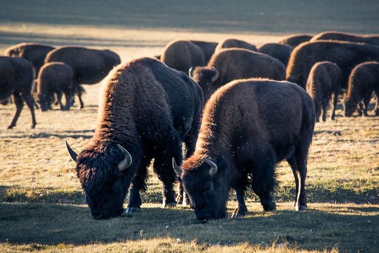 Bison grazing on field