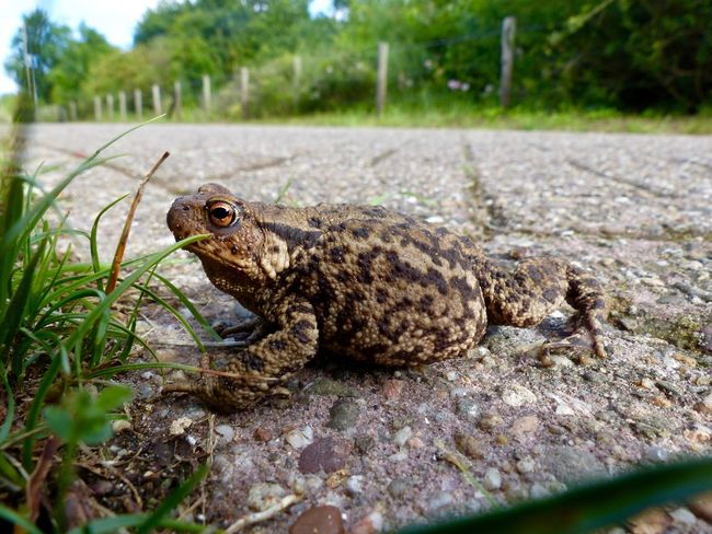 Outdoors Toad