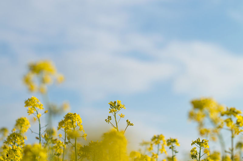 Canola flower on blue sky background on bright spring day. Beautiful sky Yellow Plant Flower Flowering Plant Growth Beauty In Nature Freshness Fragility Sky Nature Vulnerability  No People Oilseed Rape Close-up Day Field Selective Focus Land Springtime Outdoors Flower Head Blue Sky Spring Canola Field Canola Flowers 17.62°