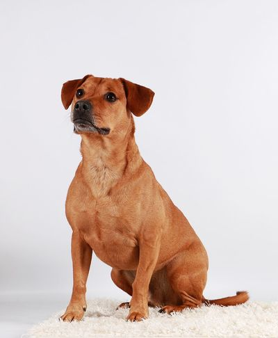 brown mixed dog is sitting in the studio EyeEm Pets FUNNY ANIMALS Labrador Animal Themes Brown Carpet Dog Domestic Animals Indoors  Looking Up Mammal Mixed Dog No People One Animal Pets Portrait Sitting Studio Shot White Background