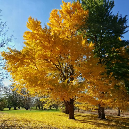 Gingko gold Tree Nature Growth Outdoors No People Beauty In Nature Gingkobiloba Gingko Tree EyeEm Nature Lover EyeEm Best Shots EyeEm Best Shots - Nature EyeEmBestPics Autumn Tranquility Leaves Beauty In Nature Yellow