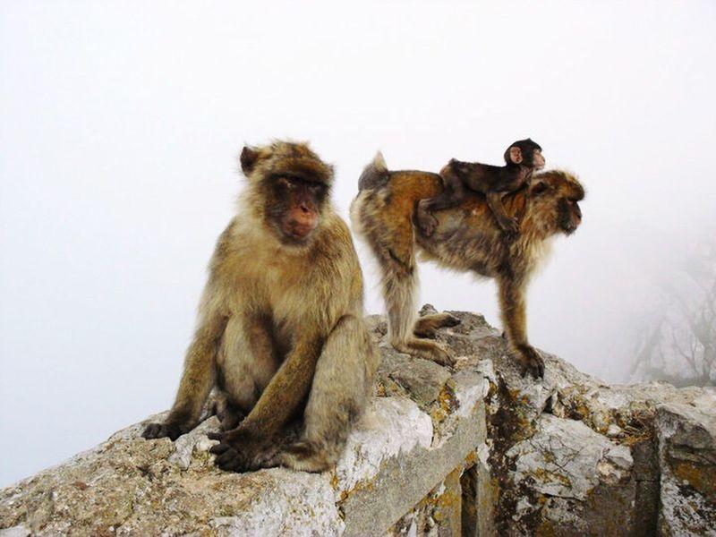Nature Photography Monkey Gibraltar Family Life