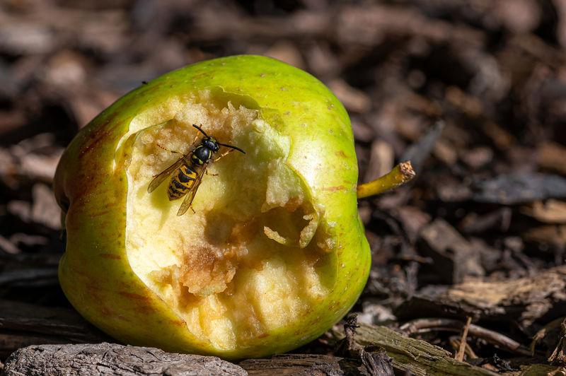 Close-up of lemon growing on field