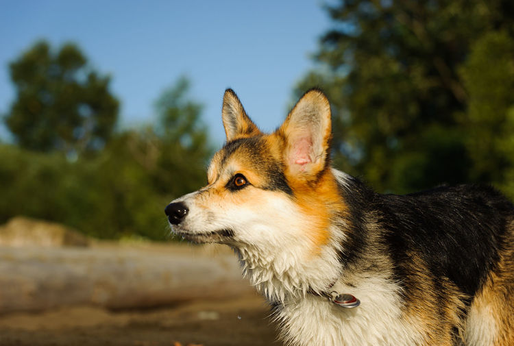 Close-up of pembroke welsh corgi looking away while standing on field