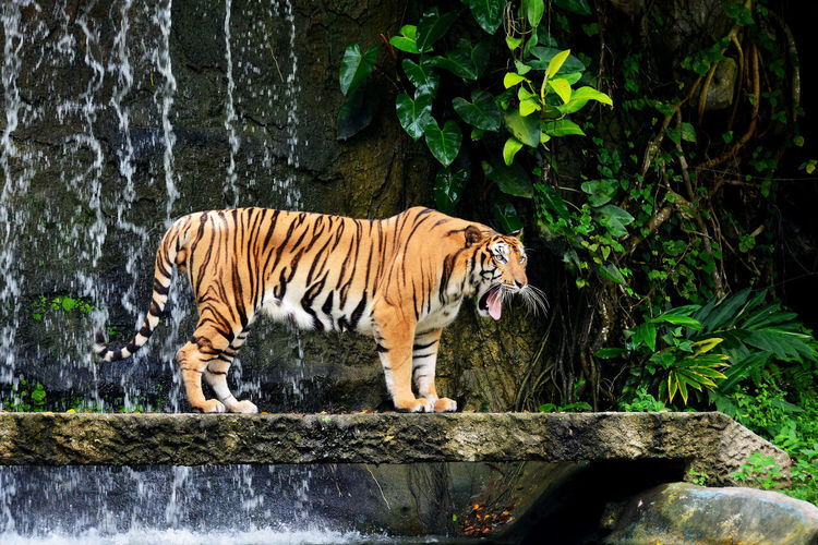 bengal tiger stand and yawn near waterfall Animal Animal Themes Animal Wildlife Animals In The Wild Bengal Tigers Big Cat Carnivora Day Drinking Feline Mammal Nature No People One Animal Outdoors Plant Stand Alone Striped Strong Tiger Vertebrate Water Waterfall Yellow Zoo