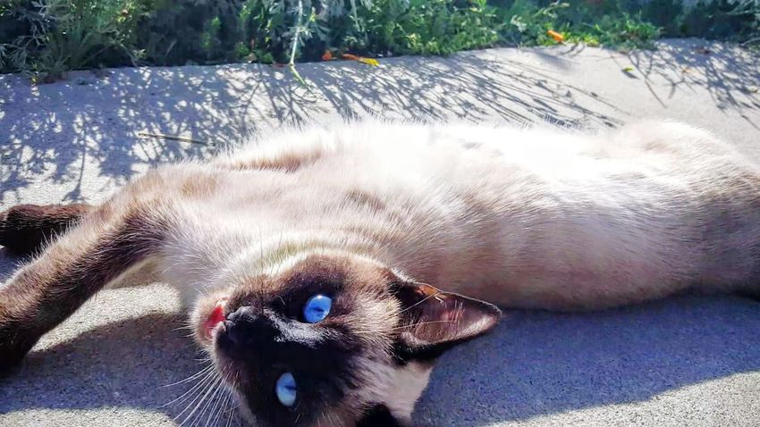 Meow Meowing Cat Siamese Siamese Cat Summer Vibes The Essense Of Summer Home Is Where The Art Is Colour Of Life Taking Photos Cats Of EyeEm Light Sunlight Silhouette Dawn Soaking Up Sun Rays Of The Sun Blue Eyes Friendly Cat Showcase August
