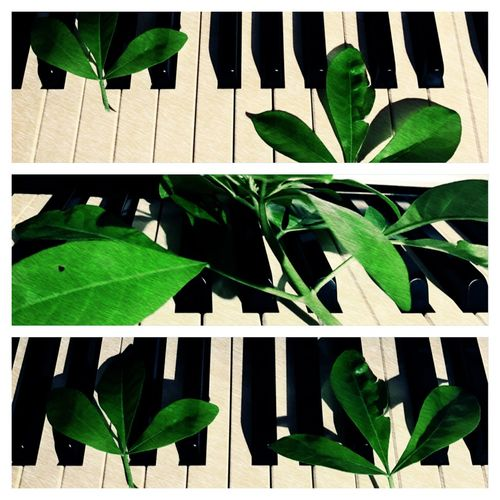 Music By The Nature's Finger Music And Nature Nature Plays The Music Leaf Green Color Leaves London Photography Art By Laziz Piano Musical Instrument Tabiat Musiqa Navozisas Leaf And Piano
