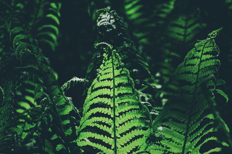 Shadows & Lights Light And Shadow Ferns Fern Green Color Plant Leaf Plant Part Growth No People Fern Nature Beauty In Nature Close-up Focus On Foreground Forest Outdoors Tranquility Sunlight Freshness Botany WoodLand My Best Photo