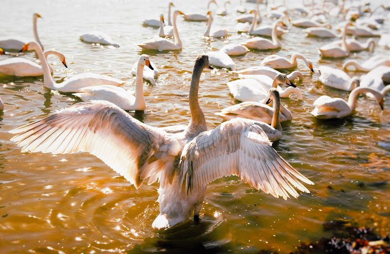 Large Group Of White Swans