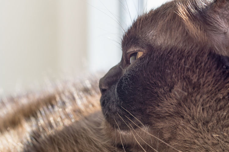 Portrait of a big male cat - mix of British Shorthair and Burma Cats Of EyeEm Animal Head  Animal Themes Cat Cat Lovers Cats Cat♡ Close-up Day Domestic Animals Domestic Cat Feline Focus On Foreground Indoors  Mammal No People One Animal Pets Whisker